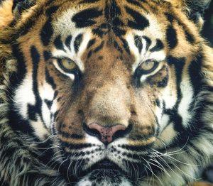 Das Tier in mir erwacht: wenn ich im Stress bin, brülle ich rum.